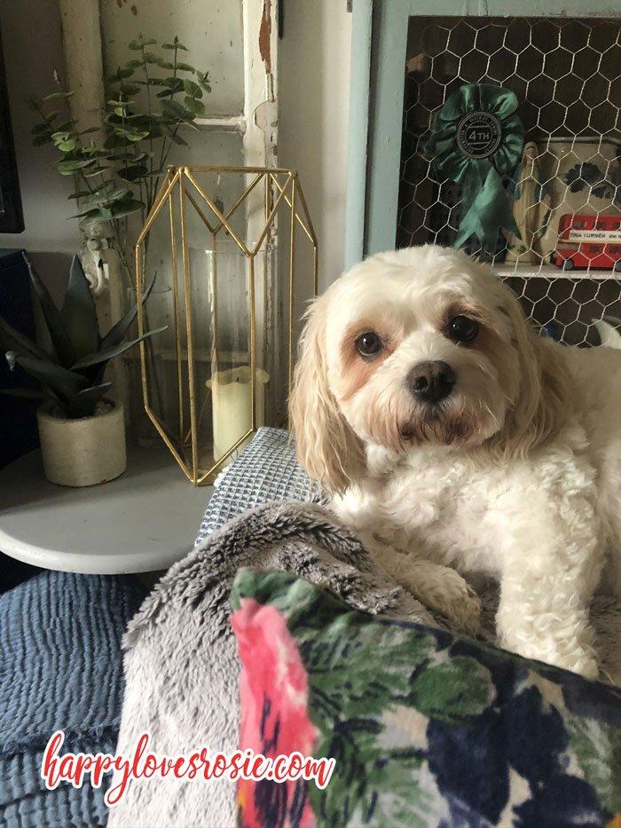 cavachon dog sitting on furry blanket